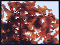 Tuula Marita Hartikainen: Autumn Leaves